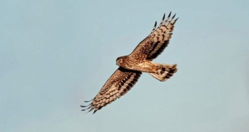 harrier bird